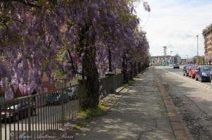 Torino_Glicini_del_Cavalcavia_di_Corso_Bramante_876fb0a4206fe8c8777e6ba708f5cb90_f